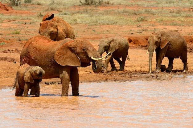 Słoń w parku narodowym kenii w afryce