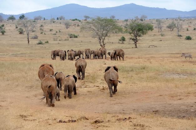 Słoń w parku narodowym kenii