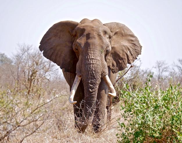Słoń w parku narodowym krugera