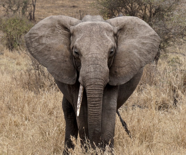 Słoń w parku narodowym serengeti tanzania wildlife photo