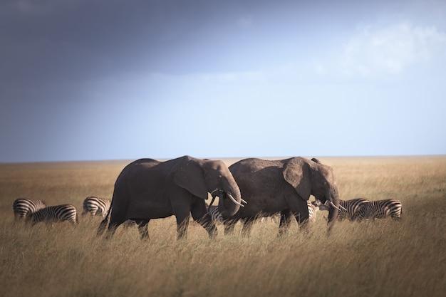 Słoń w parku narodowym serengeti