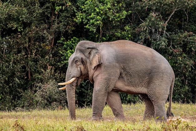 Słoń w parku narodowym w tajlandii