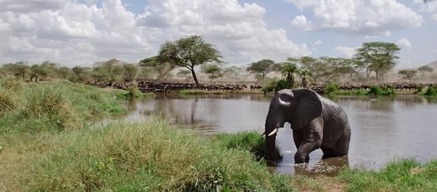 Słoń w rzece w serengeti parku narodowym