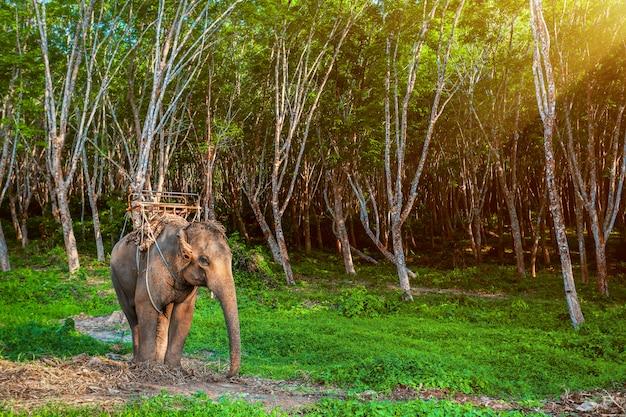 Słoń w tajlandii.