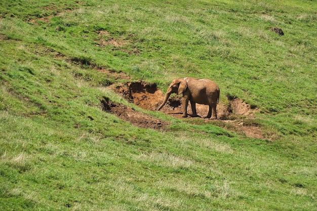 Słoń w wolności w wolności