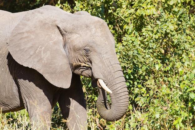 Słoń z bliska, park narodowy tarangire, tanzania, afryka. afrykańskie safari.