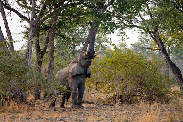 Słoń zjada młode pędy drzewa