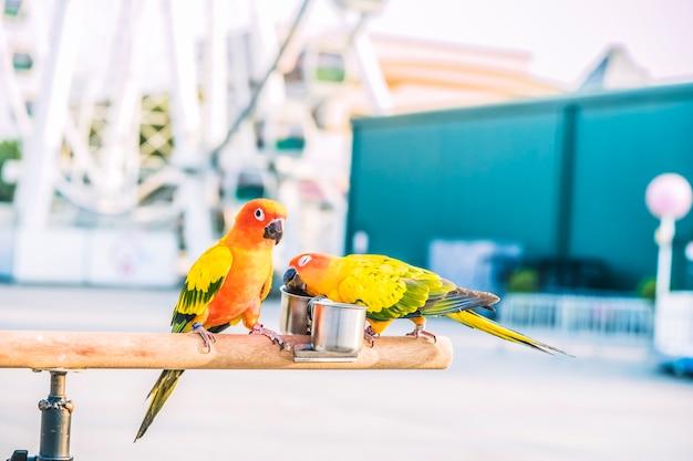 Słońce conure papuga ptaki na drewnianym barze z zamazanym gigantycznym kołem na tle