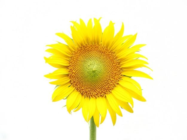Słońce kwiat odizolowywający na bielu.