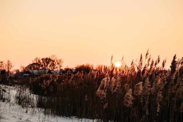 Słońce o zachodzie słońca nad trzcinami