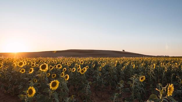 Słońce świeci na polu pięknymi słonecznikami