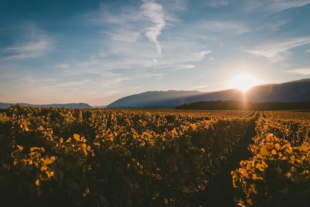 Słońce zachodzące za górami i oświetlające winnicę światłem