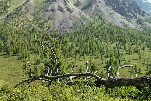 Słoneczna alpejska sceneria z suchą karczmą wśród zielonych traw na tle lasu iglastego i zielonego zbocza ze skałami. malowniczy górski krajobraz z suchym drzewem wśród bujnej flory w pobliżu stoku lasu.