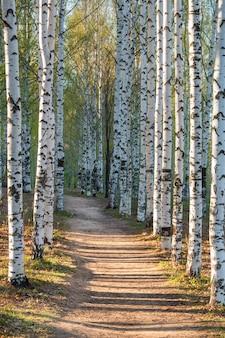 Słoneczna droga w parku brzozowym