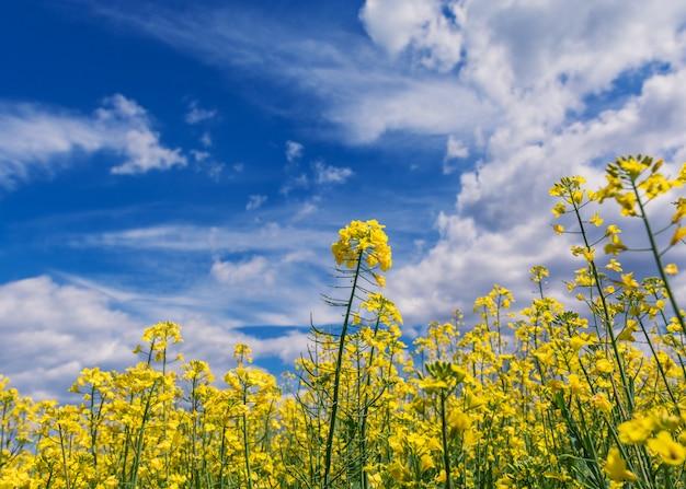 Słoneczne pole kwiatów
