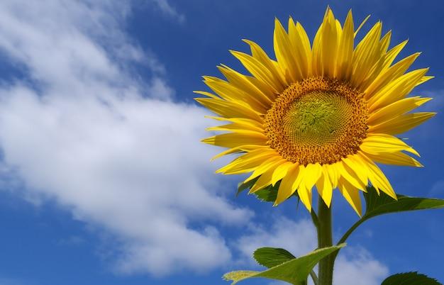 Słonecznik i niebo