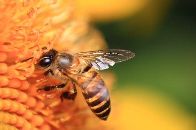 Słonecznik i pszczoła