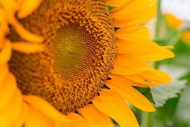 Słonecznik kwitnący, kwiat naturalne tło. produkcja oleju w rolnictwie w czasie żniw.