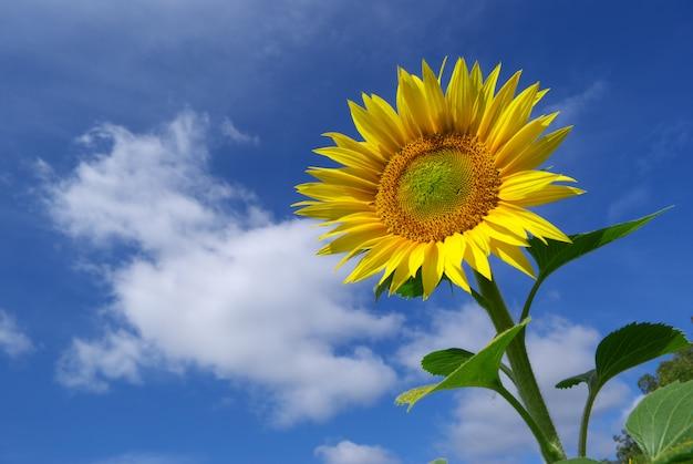 Słonecznik na nieba tle