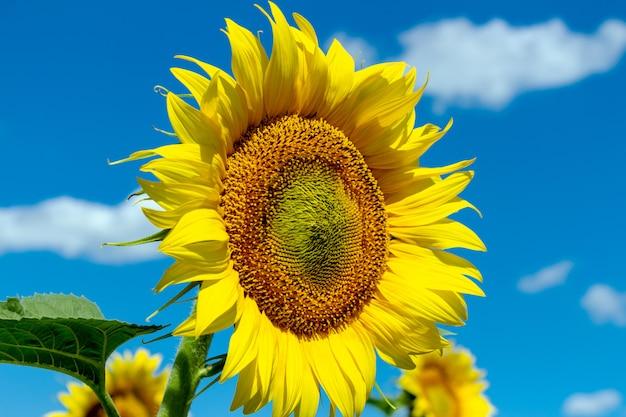 Słonecznik na niebieskim niebie. rolnictwo rolnictwo koncepcja gospodarki wiejskiej agronomia