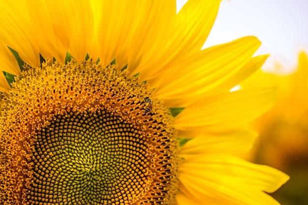 Słonecznik na polu słoneczniki z pszczołą