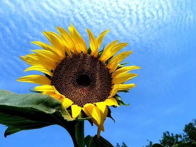 Słonecznik na polu w regionie rostów w rosji