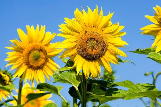 Słonecznik na polu