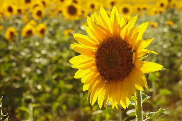 Słonecznik nad polem latem