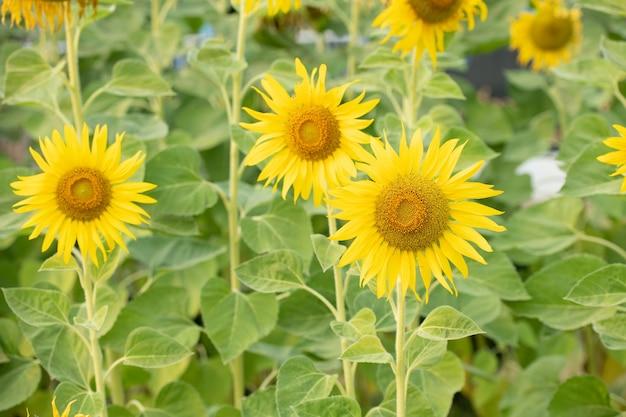 Słonecznik naturalne tło. kwitnienie słonecznika. roślina rosnąca wśród innych słoneczników.