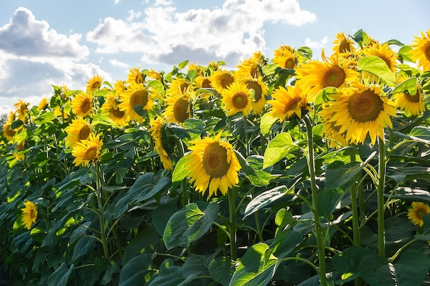 Słonecznik naturalne tło. kwitnienie słonecznika. zbliżenie słonecznika.
