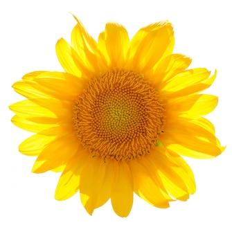 Słonecznik odizolowywający