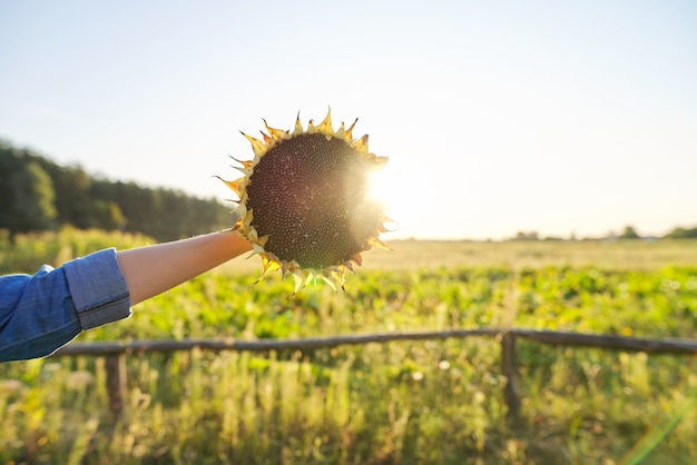 Słonecznik roślina dojrzałe koło z czarnymi nasionami w ręku. naturalny krajobraz, zachód słońca, złota godzina. rolnictwo, żniwa, przyroda, jesień, niebo kopia przestrzeń