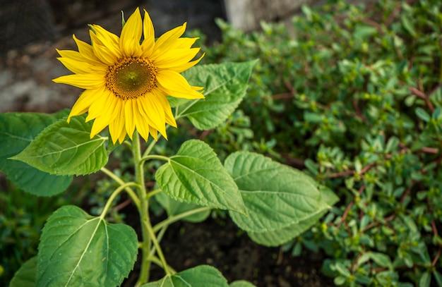 Słonecznik rośnie na polu wiosną