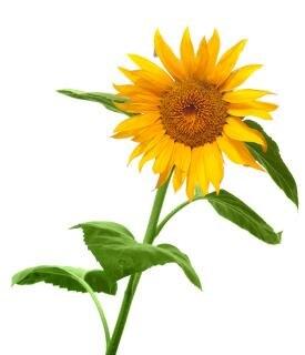 Słonecznik single