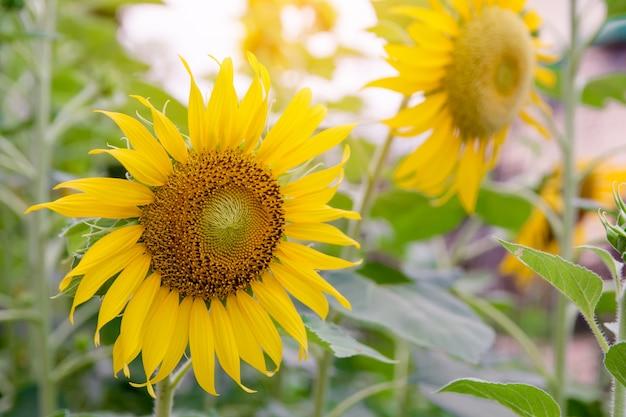 Słonecznik, słonecznikowy kwiat lato w polu, słonecznikowy natury tło z