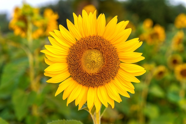 Słonecznik tło naturalne, słonecznik kwitnący wiosną.