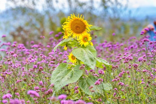Słonecznik w kwiatu verbena bonariensis ogródzie przy monjam, chiang mai, tajlandia