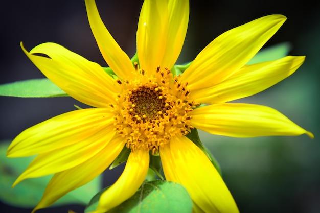 Słonecznik w ogrodzie