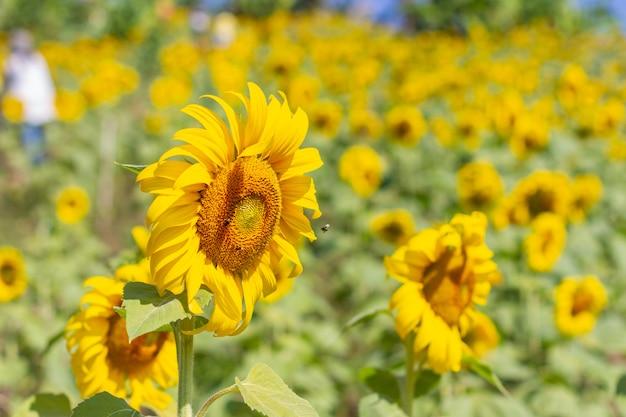 Słonecznik w pięknym żółtym ogrodzie.