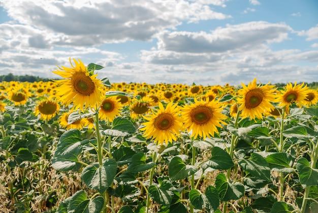 Słonecznik w polu słoneczników pod błękitnym niebem i piękne chmury w dziedzinie rolnictwa