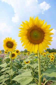 Słonecznik w polu z niebieskim niebem
