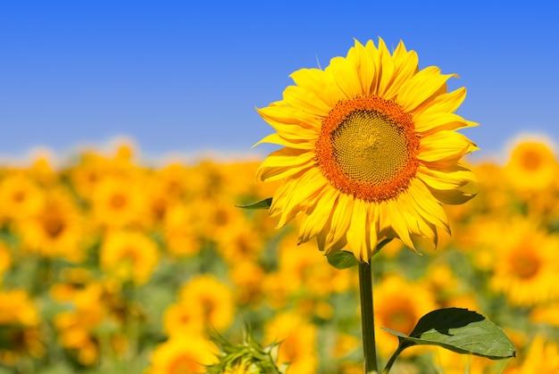 Słonecznik w polu