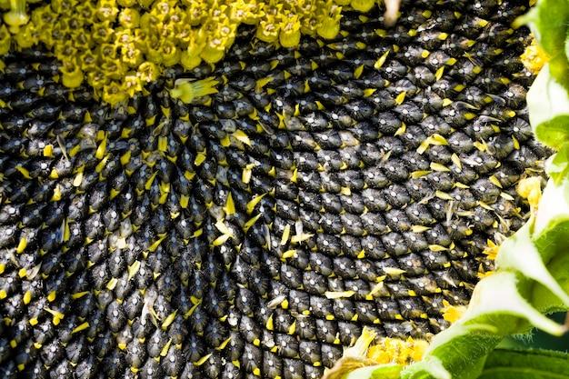 Słonecznik Z Czarnymi Nasionami Premium Zdjęcia