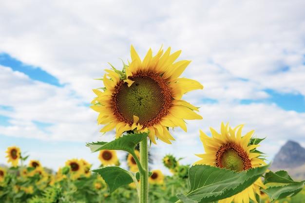 Słonecznik z niebem w lecie