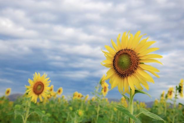 Słonecznik z niebieskim niebem.