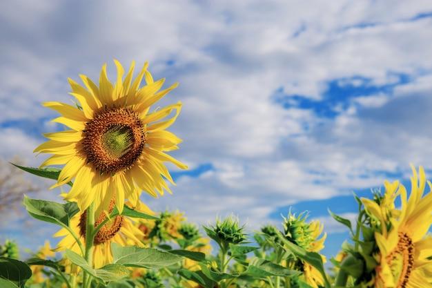 Słonecznik z piękną naturą na niebieskim niebie.