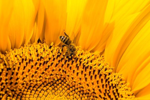 Słonecznik z żółtymi płatkami