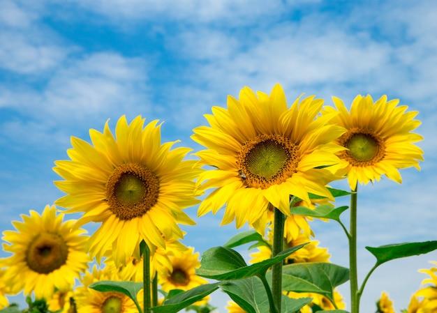 Słonecznika pole z chmurnym niebieskim niebem