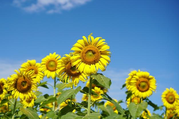 Słonecznika pole z niebieskim niebem.