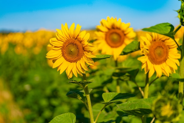 Słoneczniki dojrzewają w ciepłe dni latem na polu.
